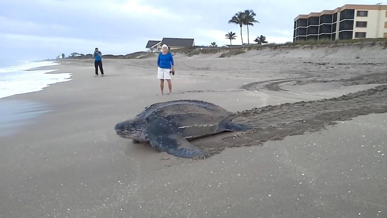 Tartaruga marinha voltando para o mar depois de botar seus ovos