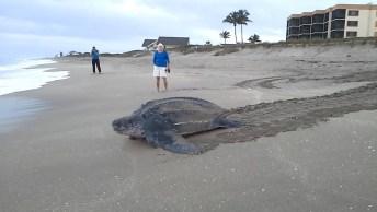 Tartaruga Marinha Voltando Para O Mar Depois De Botar Seus Ovos, Linda Demais!