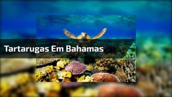 Tartarugas Em Bahamas, Um Lugar Que É Um Verdadeiro Paraíso!