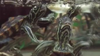 Tartarugas Na Hora Do Almoço, Essas Parecem Estar Com Fome Hein!