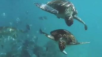 Tartarugas Nadando Tranquilamente No Fundo Do Mar, A Natureza É Maravilhosa!