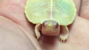 Tartaruguinha Albina, Olha Só Que Interessante Este Pequeno Animal!