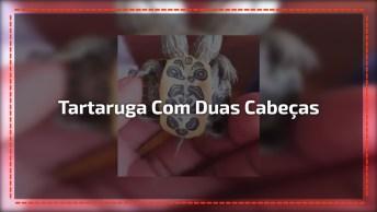 Tartaruguinha De Duas Cabeças, Um Erro Genético Da Natureza!