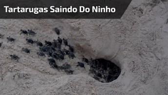 Tartaruguinhas Saindo Do Ninho, Um Momento Raro Sendo Filmado Bem De Pertinho!