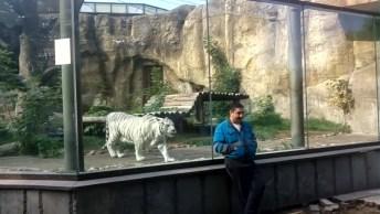 Tigre Branco 'Ataca' Homem Em Zoológico, Mas Algo Salva Ele!