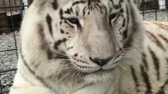 Tigre Branco Bocejando, Veja Que Animal Mais Lindo, Vale A Pena Conferir!