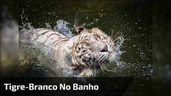 Tigre Branco Em Seu Banho Relaxante, Que Criatura Mais Bela Da Natureza!