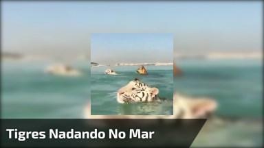 Tigres Nadando Em Águas Límpidas Do Mar, Que Imagem Mais Linda!