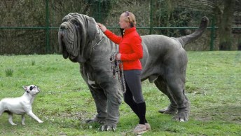 Top 10 Dos Cachorros Mastiff Mais Lindos Do Mundo, Confira!