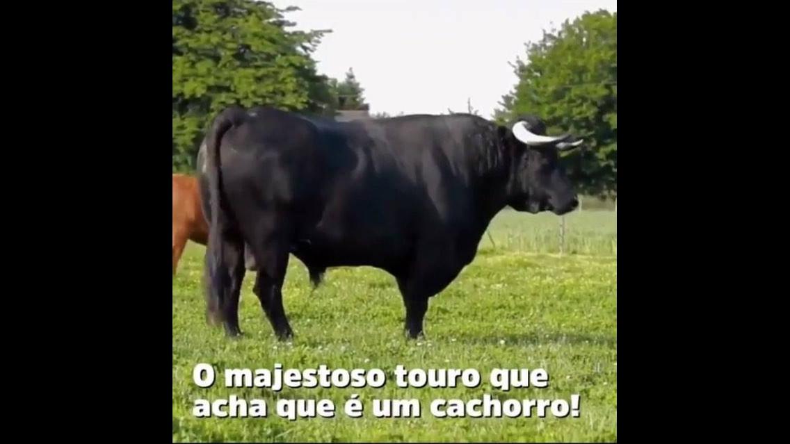 Touro resgatado de tourada, o amor cura e transforma