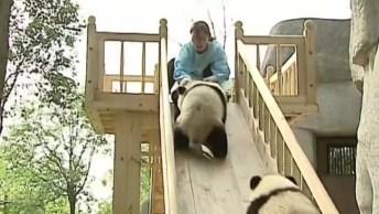 Trabalho Incrível Dos Parques Da China Com Os Ursos Pandas!