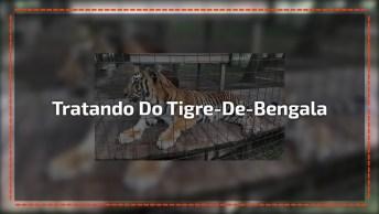 Tratando De Um Tigre De Bengala Na Boca, Esse Animal É Lindo Demais!