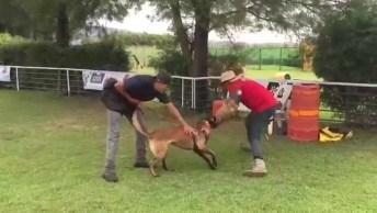 Treinamento De Um Pastor Belga, Um Cachorro Muito Esperto E Veloz!