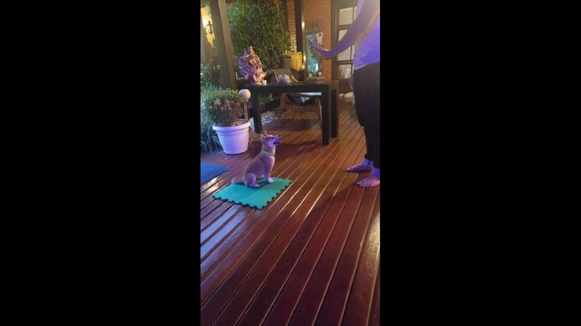 Treinando um cachorro a ficar sentado