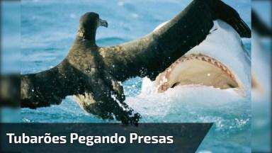 Tubarões Pegando Suas Presas, Cenas Incríveis Da Natureza!