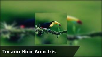 Tucano-Bico-Arco-Iris Comendo Sentado Em Um Ganho De Árvore!