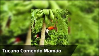 Tucano Comendo Um Mamão Direto Da Árvore, Veja Que Imagem Mais Linda!