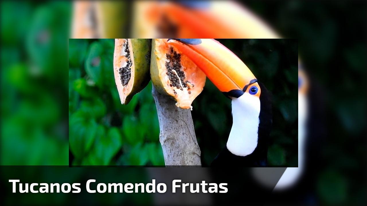 Tucanos comendo frutas