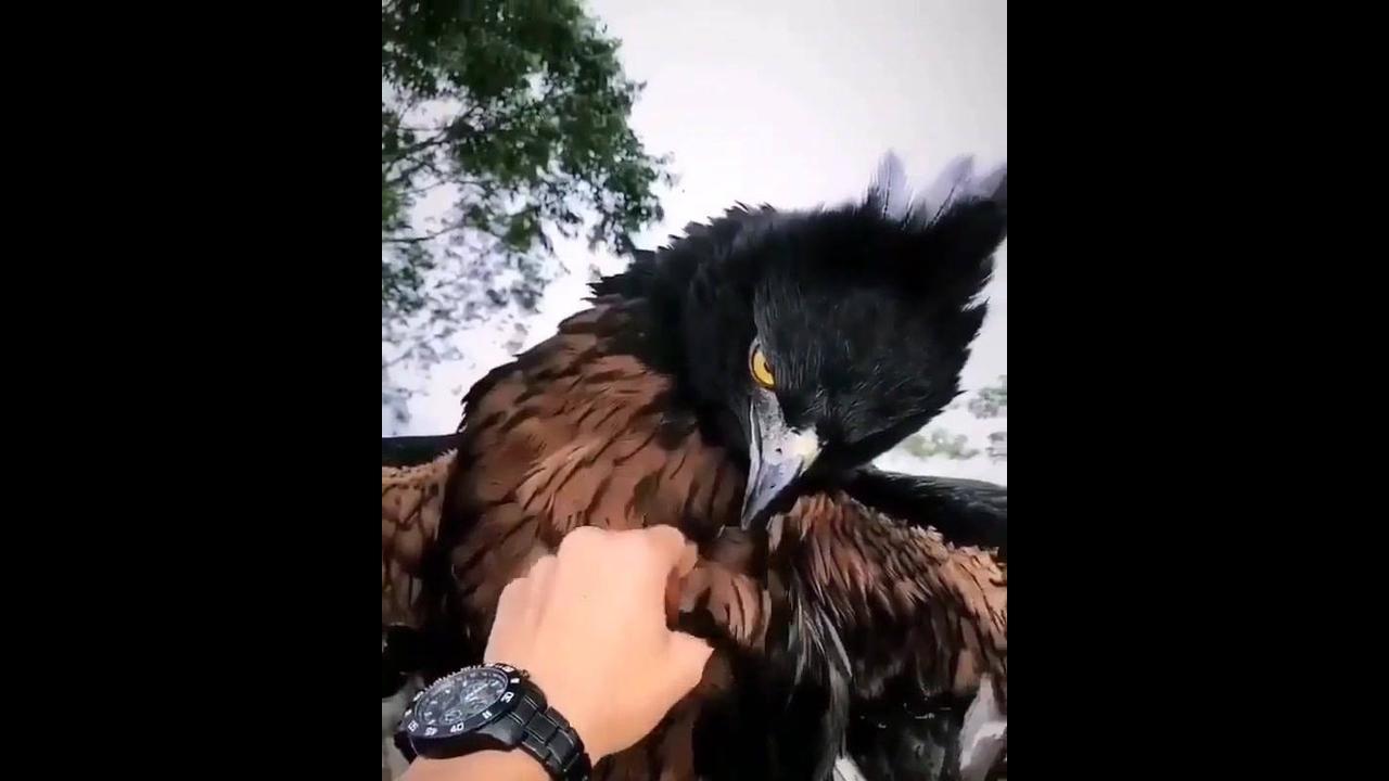 Uma águia amiga, que coisa mais linda que ela é