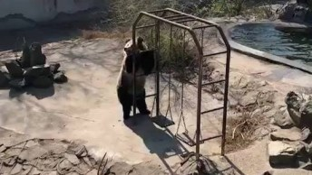 Urso Brincando Em Parque De Zoológico, Olha Só Que Festa Ele Faz!