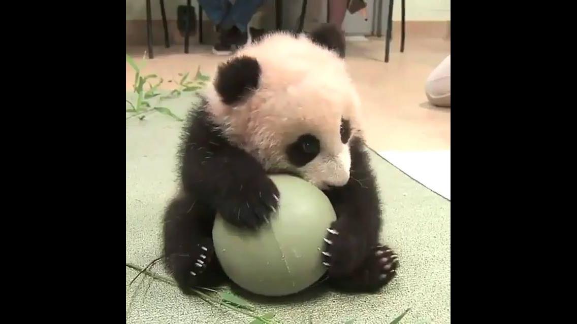 Urso Panda brincando com uma bola, como é fofinho