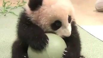 Urso Panda Brincando Com Uma Bola, Como É Fofinho, Olha A Carinha Dele!