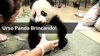 Urso Panda Brincando Com Uma Bola, Olha Só Que Animal Mais Fofinho!