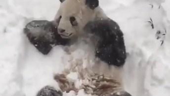 Urso Panda Brincando Na Neve, Veja A Alegria E Depois Compartilhe!