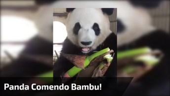 Urso Panda Comendo Bambu, Como Este Animal É Fofinho Até Comendo!