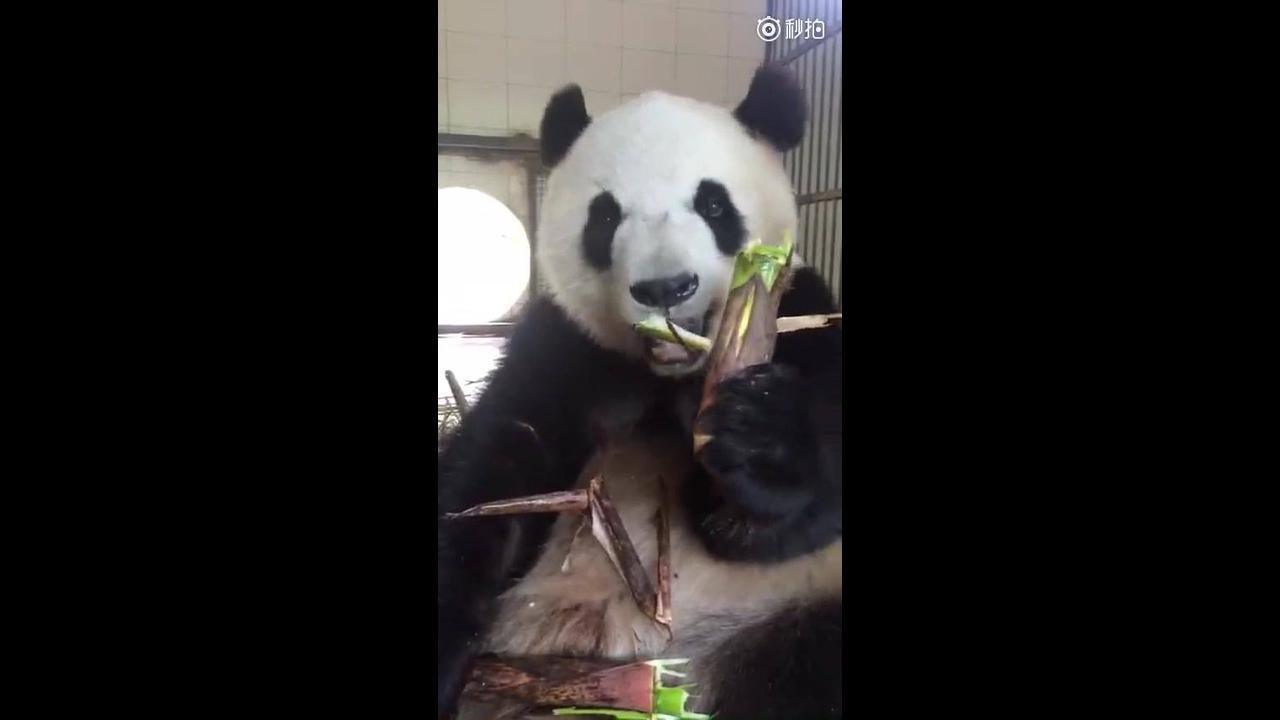 Urso panda comendo bambu