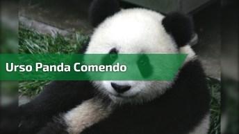 Urso Panda Comendo Cenoura, O Importante É Manter O Foco Na Dieta!