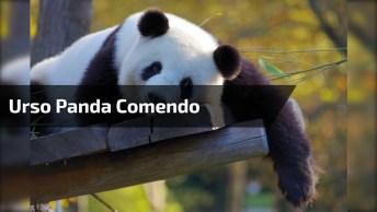 Urso Panda Comendo Uma Cenoura, Olha Só A Simpatia Deste Animal!