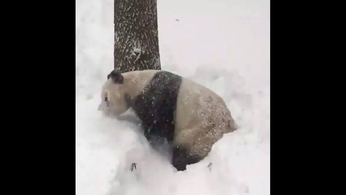 Urso Panda rolando na neve
