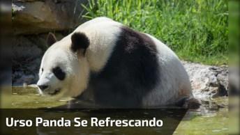 Urso Panda Se Refrescando De Boa, Alguém Está Com Inveja Dele?