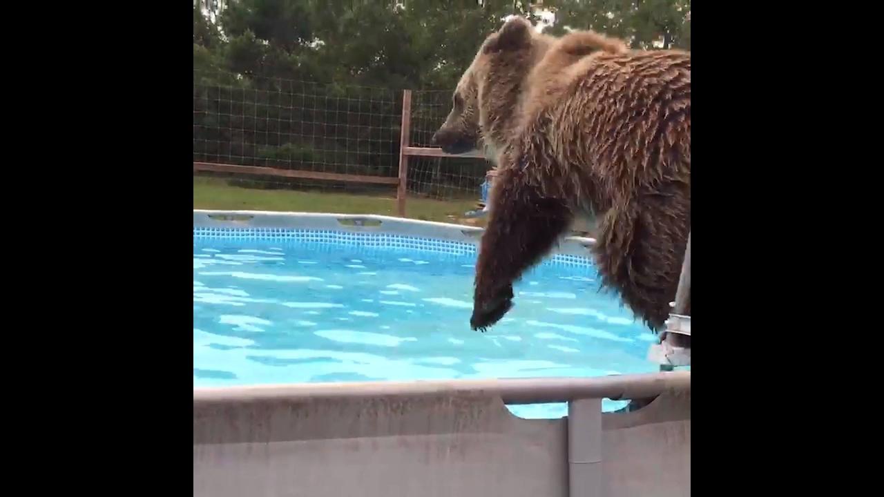 Urso pardo tão fofinho