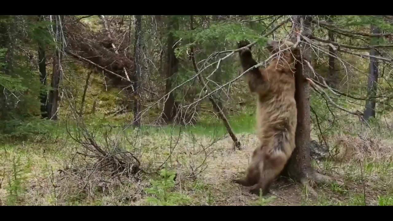 Ursos dançando musica eletrônica