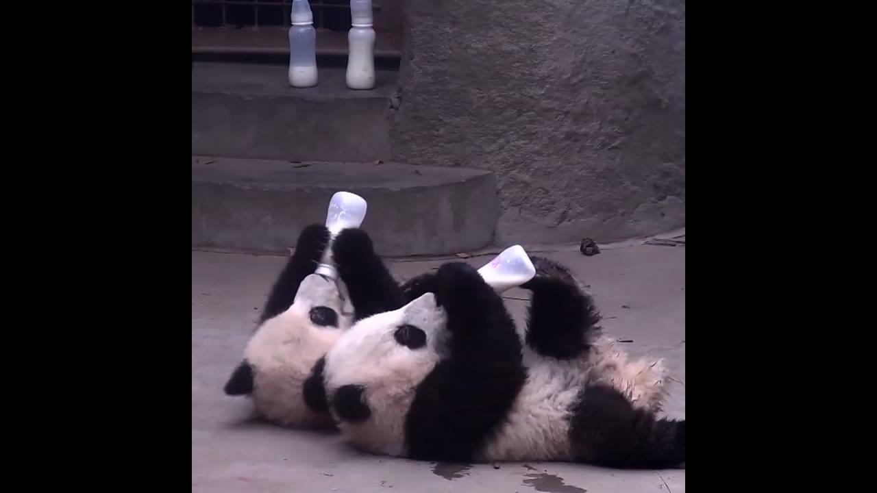 Ursos Panda os animais mais fofos que existem