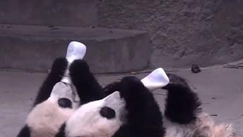Ursos Panda Os Animais Mais Fofos Que Existem! Veja Este Vídeo De Pura Fofura!