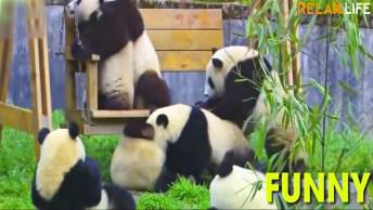 Ursos Pandas Brincando E Se Divertindo, Como Estes Animais São Fofinhos!
