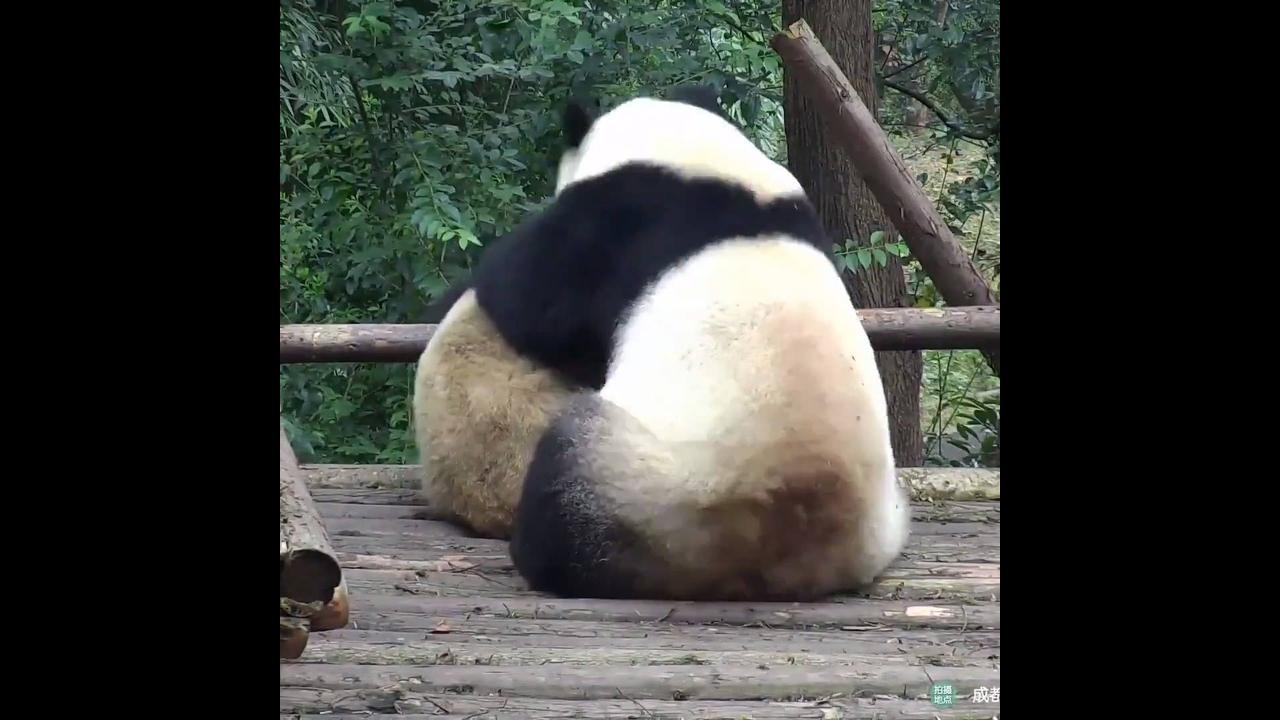 Ursos pandas se abraçando, como estes animais são fofos