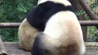 Ursos Pandas Se Abraçando, Como Estes Animais São Fofos, Confira!