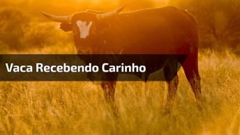 Vaca Mansa Recebendo Carinho, Que Coisa Mais Fofa, Confira!