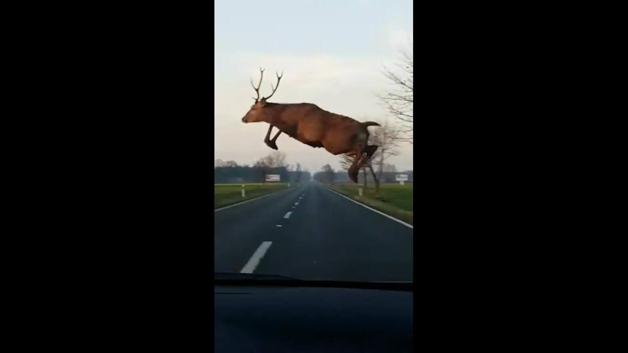 Veado da um salto em frente de um carro na estrada