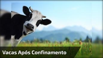 Veja A Alegria Destas Vacas Ao Serem Libertadas Após Grande Confinamento!