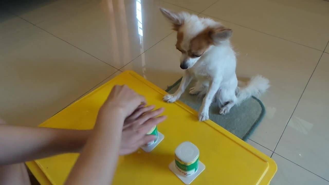 Veja a habilidade desse cãozinho para descobrir onde está o alimento