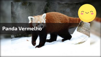 Veja Que Fofo Esse Panda Vermelho Brincando Com Abóbora, Lindinho!