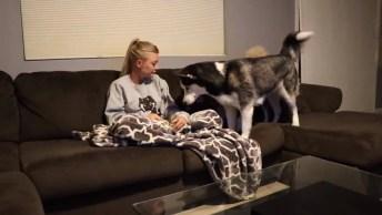 Vida Antes E Depois De Ter Huskies Siberianos Em Casa, Muito Engraçado!