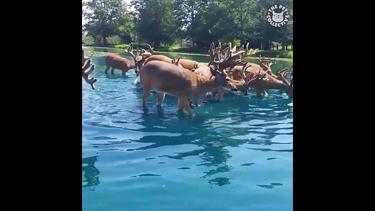 Vídeo com cervos se comunicando com humanos