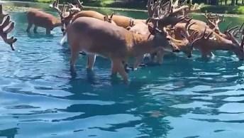 Vídeo Com Cervos Se Comunicando Com Humanos, Olha Só Que Engraçado!