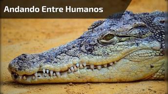 Vídeo Com Crocodilo Andando Entre Humanos Tranquilamente, Incrível!